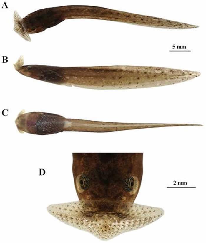 云南高黎贡山发现两栖动物一新种——泸水角蟾