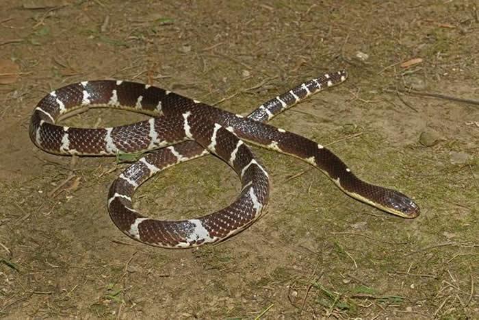 云南盈江发现剧毒蛇新种——素贞环蛇Bungarus suzhenae