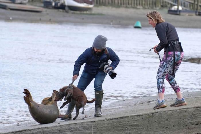 英国女饲主遛狗未使用牵绳 狗攻击小海豹导致其伤重遭安乐死