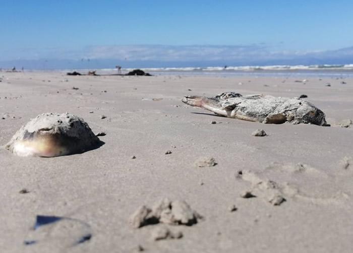 南非开普敦梅增贝赫海滩出现数百条搁浅河豚 毒素比氰化物更致命
