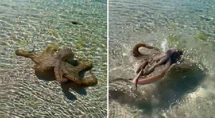 """澳洲男子在西澳地理湾水中发现""""八爪海怪"""" 好奇靠近被愤怒章鱼攻击"""