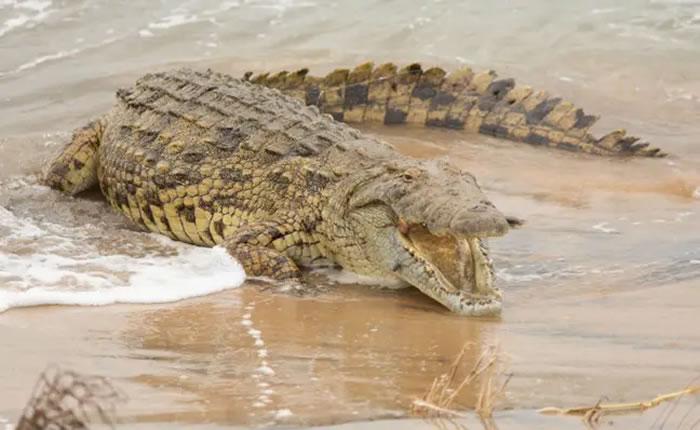 澳洲昆士兰州680公斤咬力之王尼罗鳄轻松猎杀公牛鲨