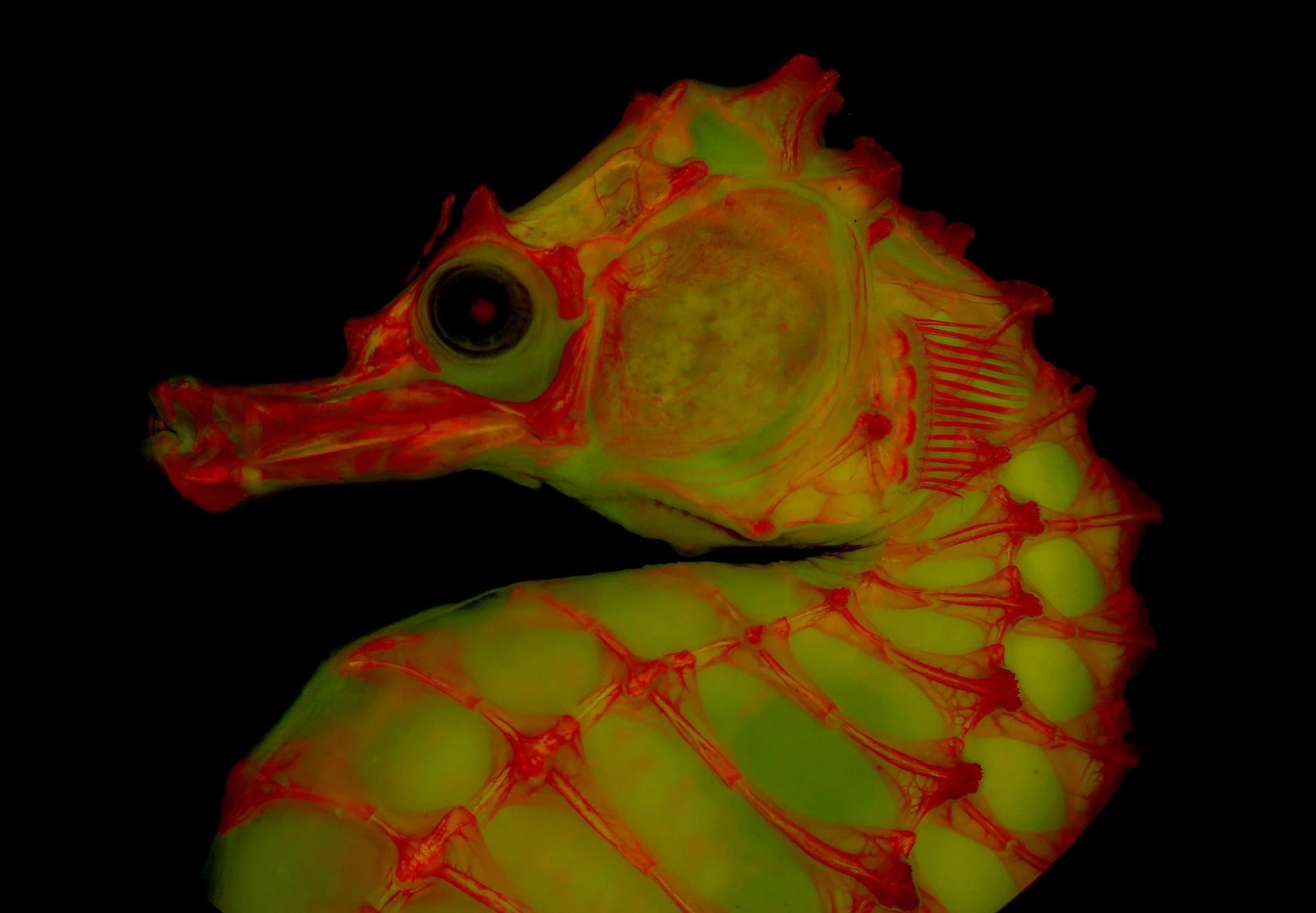 架在甘油明胶混合液中的海马透明骨骼标本,其身上的染料于萤光灯照耀下发出红色光芒。这种摄影技术让科学家能以全新的方式检视骨骼。 PHOTOGRAPH BY LEO
