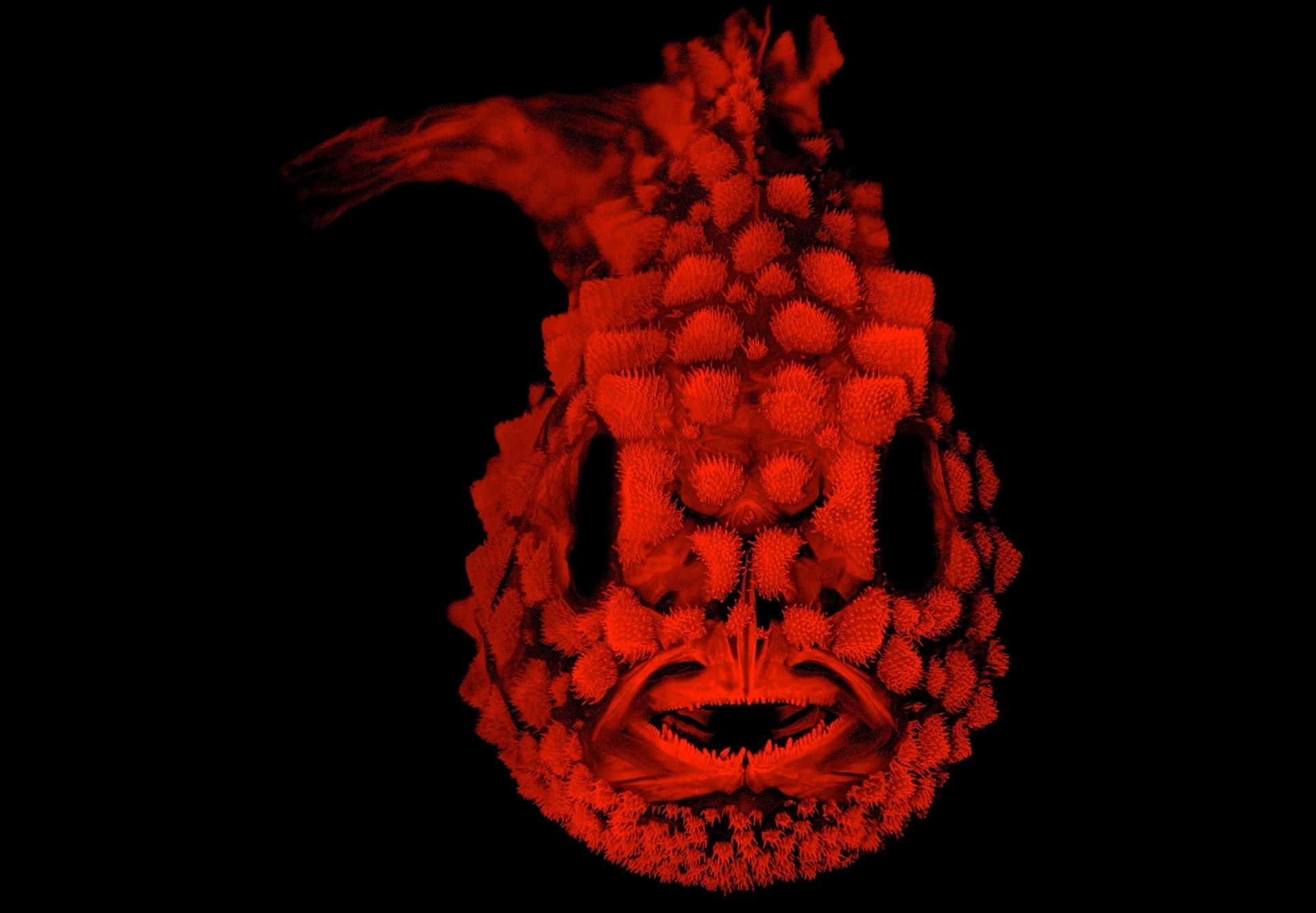 眶真圆鳍鱼(Pacific spiny lumpsucker)是种大约两公分半的小鱼,全身布满了坚硬的疣粒。 PHOTOGRAPH COURTESY OF AM