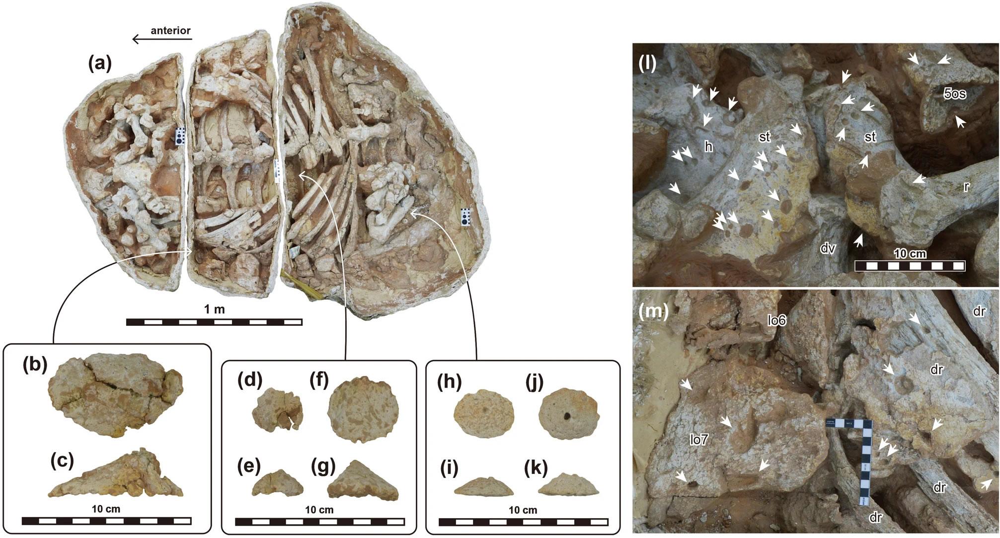 甲龙科恐龙可能掌握挖土的本领