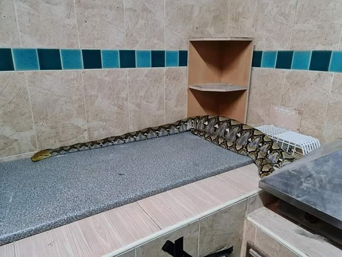 泰国巴吞他尼府11岁女学生宠物猫失踪 走进厨房看到腹部明显隆起的巨大蟒蛇