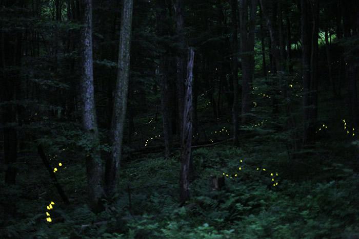 """萤火虫可能会借助超声波""""音乐盔甲""""来抵御蝙蝠的攻击"""