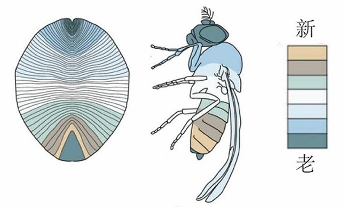 狄更逊虫与后生动物体节增长方式的对比(Dunn et al., 2016)
