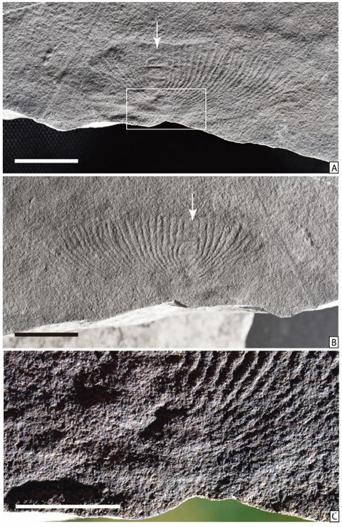 石板滩生物群中的狄更逊虫,(A),(B)为正副模,(C)是(A)中方框的放大(Wang et al., 2021)
