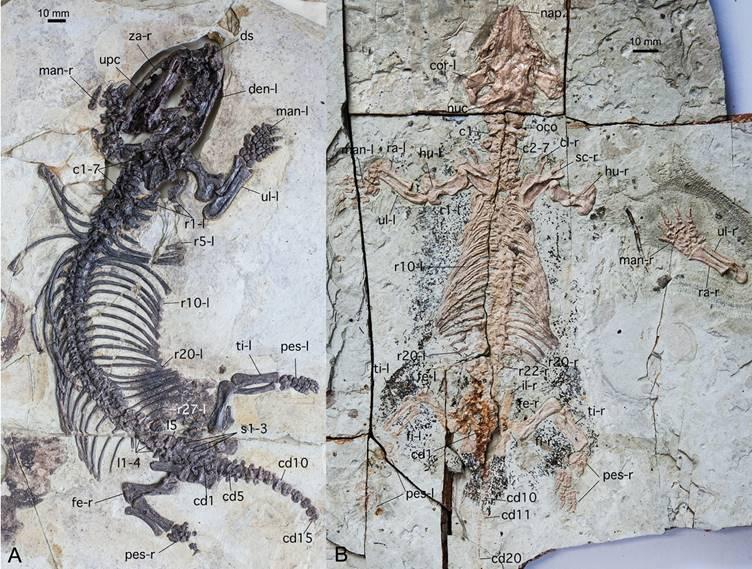 中国掘兽和陈氏掘尖齿兽正型标本(毛方园供图)