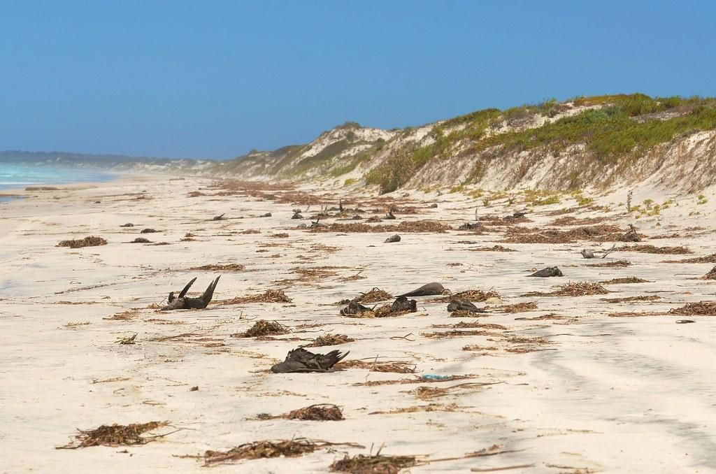 澳洲海滩上多年前神秘出现百万只海鸟的尸体,今天科学家们总算解开谜团。照片来源:Laurie Boyle(CC BY-SA 2.0)