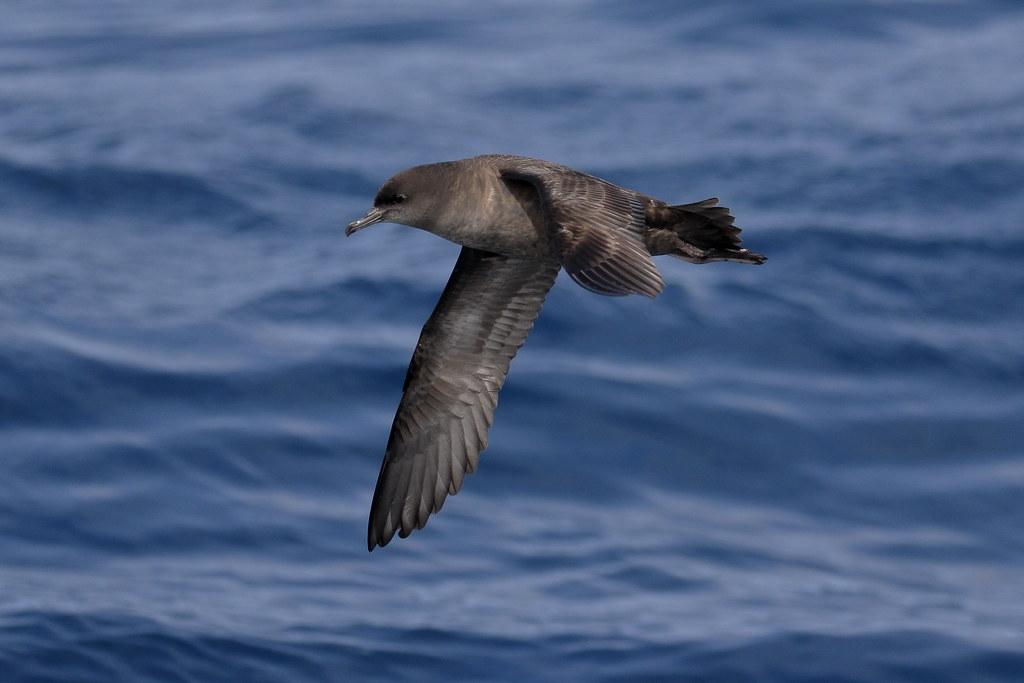 短尾水薙鸟在海上飞翔。照片来源:Ed Dunens(CC BY 2.0)