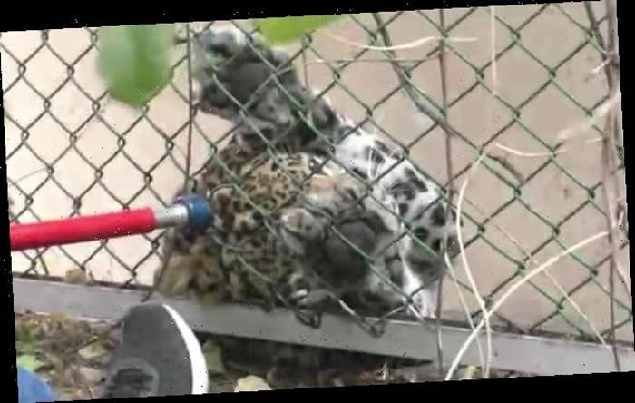 印度贾姆穆市野豹闯进公园攻击老人