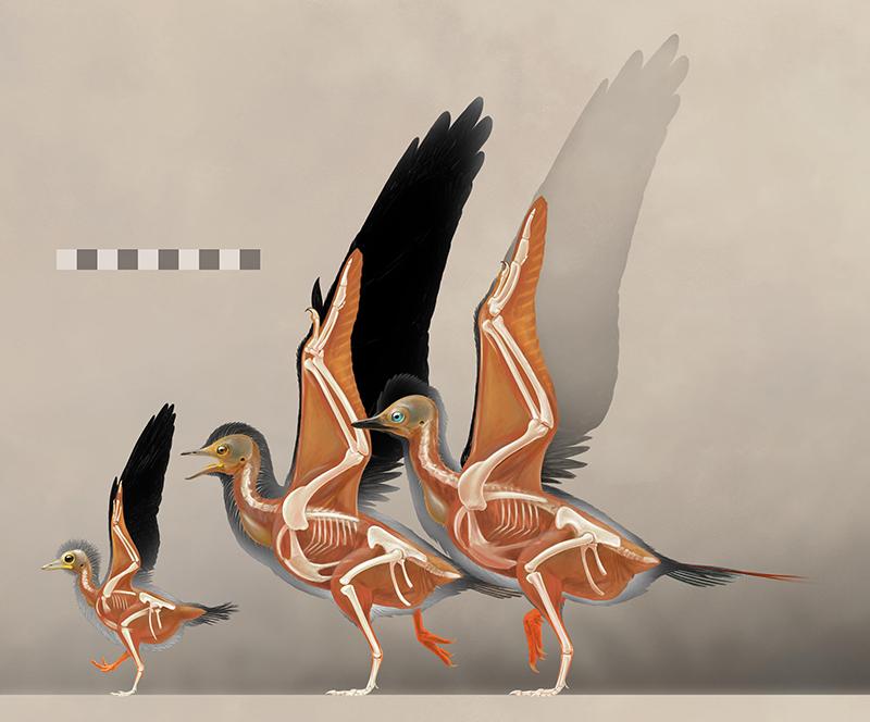 古喙鸟的生长阶段重建 (研究团队 供图)(注:左侧为本研究的幼年个体,其躯干的长度只有成年个体的一半,但是初级羽毛与前肢骨骼的比例已经接近成年个体)