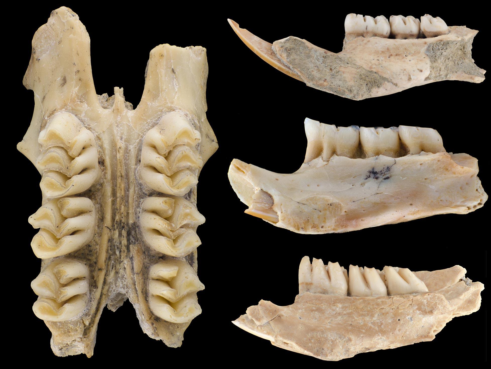 云鼠化石(劳伦-纳塞夫,菲尔德博物馆)