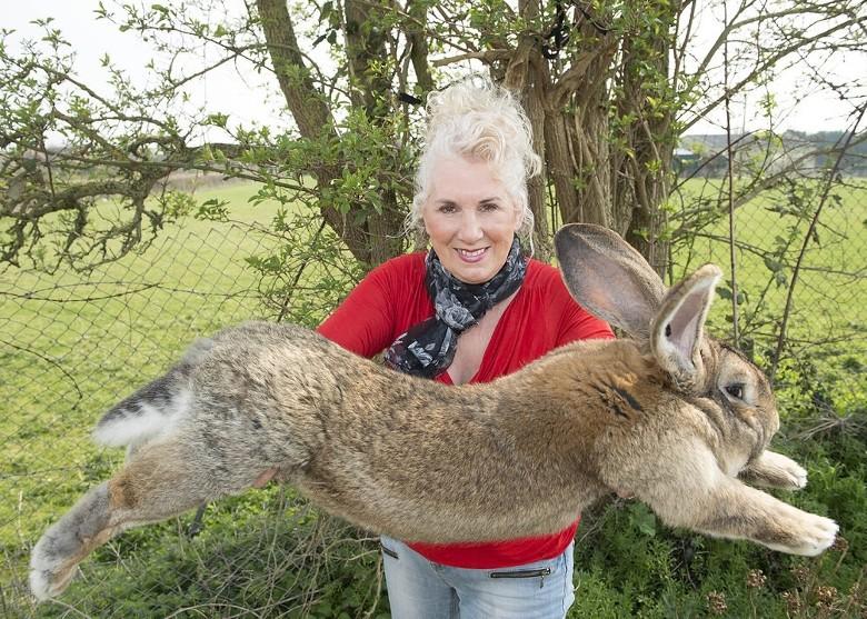 """英国曾荣获健力士世界记录认证的""""全球最巨型""""兔子Darius被盗 主人悬赏2000英镑寻兔"""