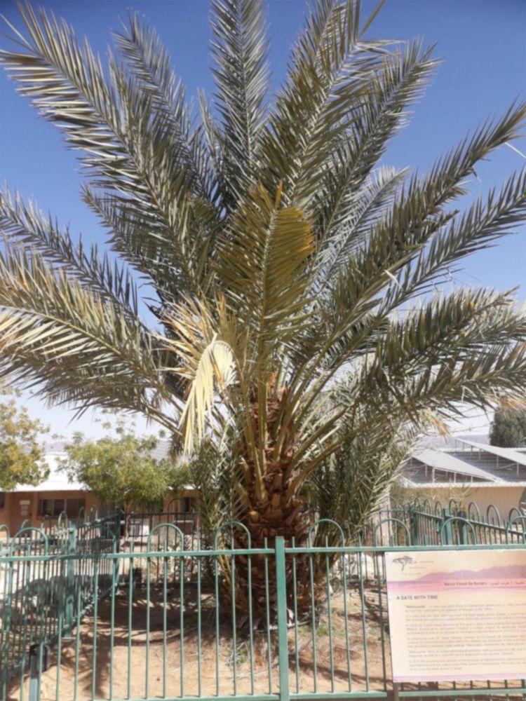 科学家成功对2000多年前已经灭绝的枣椰树进行基因组测序