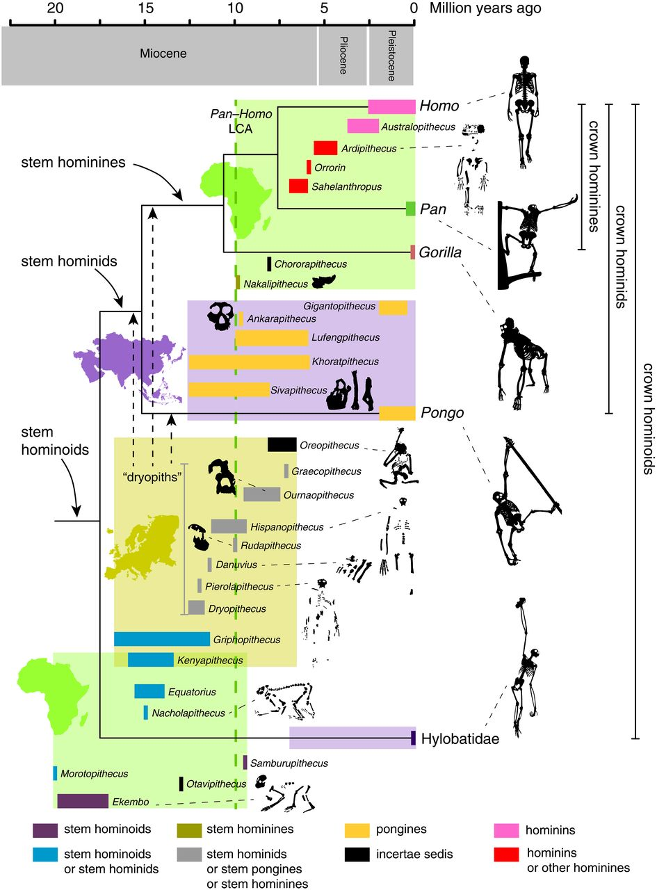 化石猿类与人类进化
