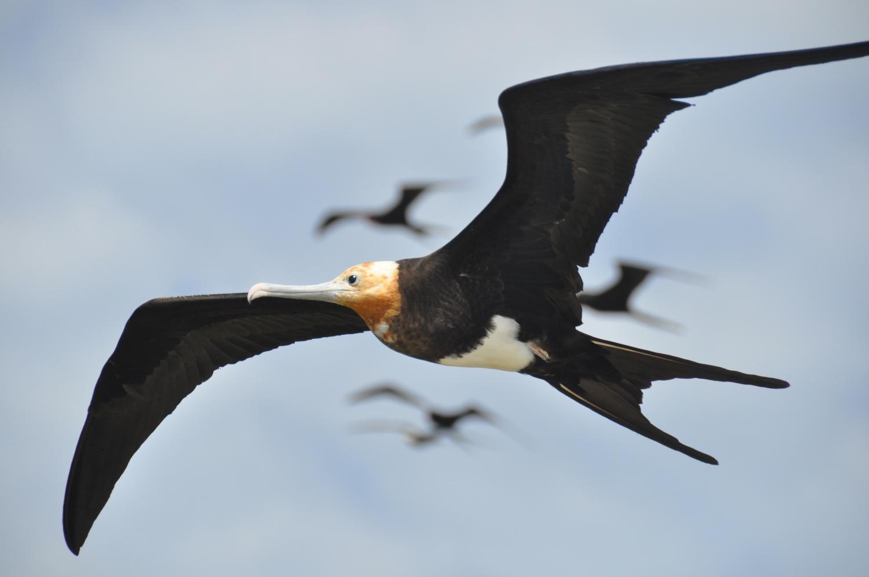 2016年的一则《科学》研究发现,军舰鸟可一次持续高空飞行数月之久
