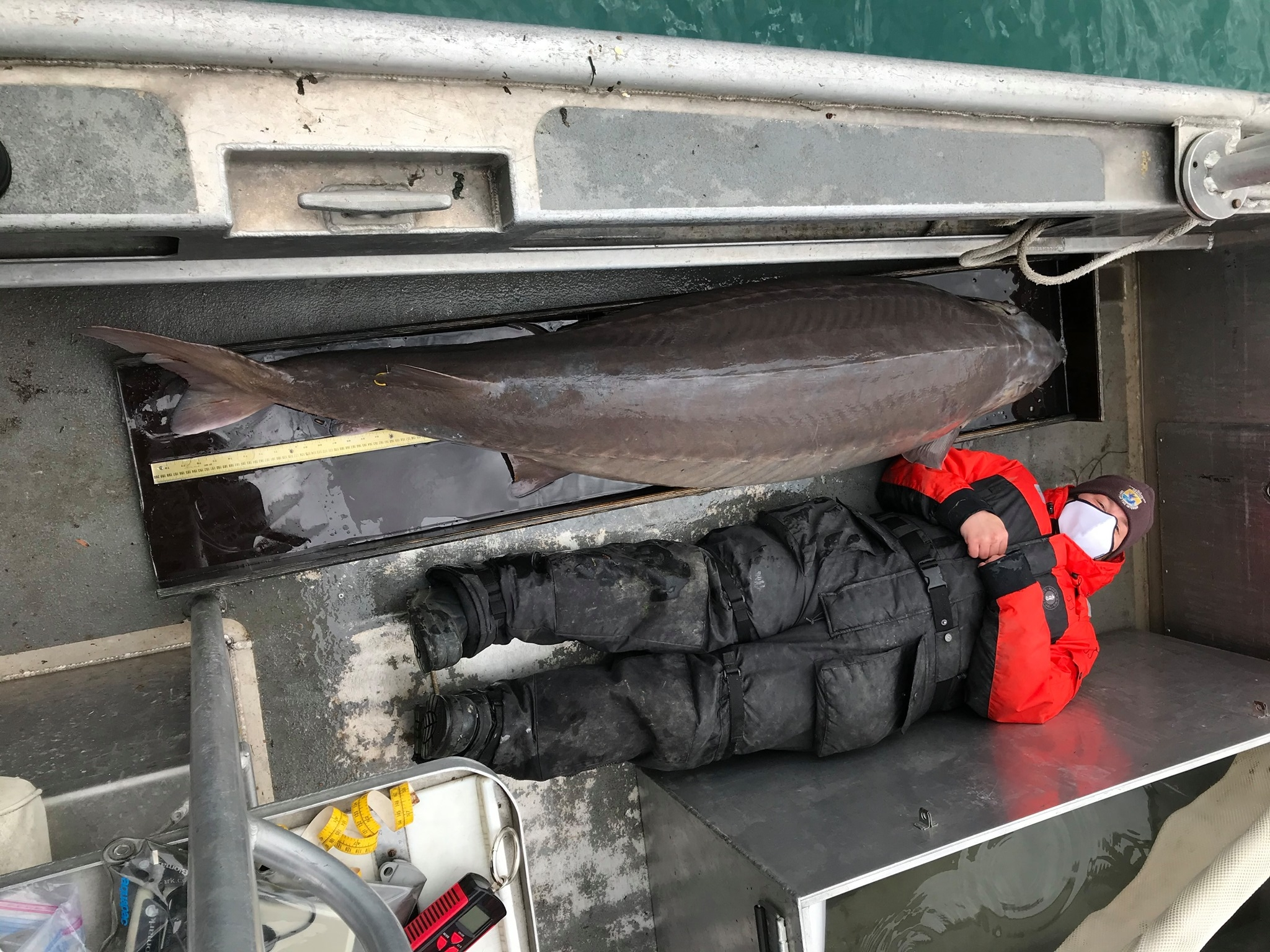 河中巨怪!美国密歇根州底特律河发现一只寿命超过百岁的超大鲟鱼