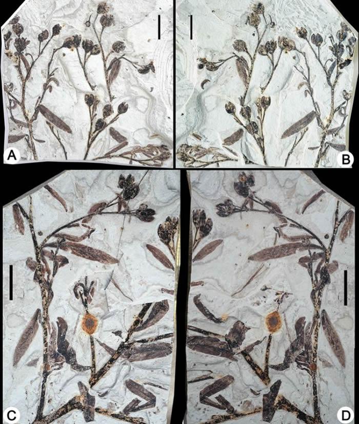 柳叶甘肃果化石