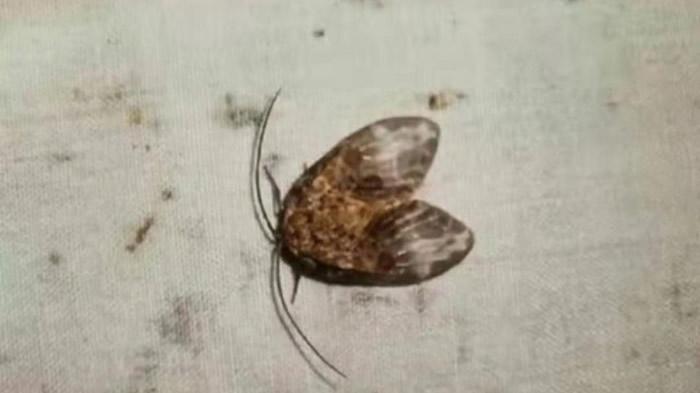 湖南南山国家公园发现全球新物种直颚突蛉蛾