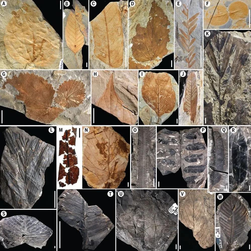图2 树叶化石形态(Carvalho et al., 2021)