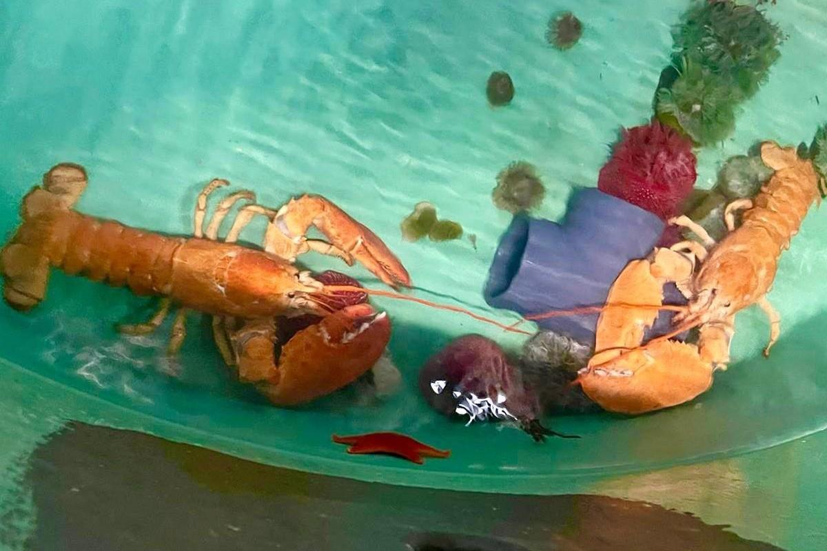 英国莱斯特水族箱中惊见出现机率仅十亿分之一的二只橘红色龙虾