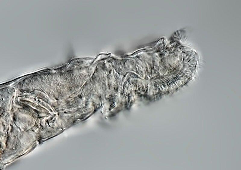 科学家团队成功复活在永久冻土中生活2.4万年的轮虫