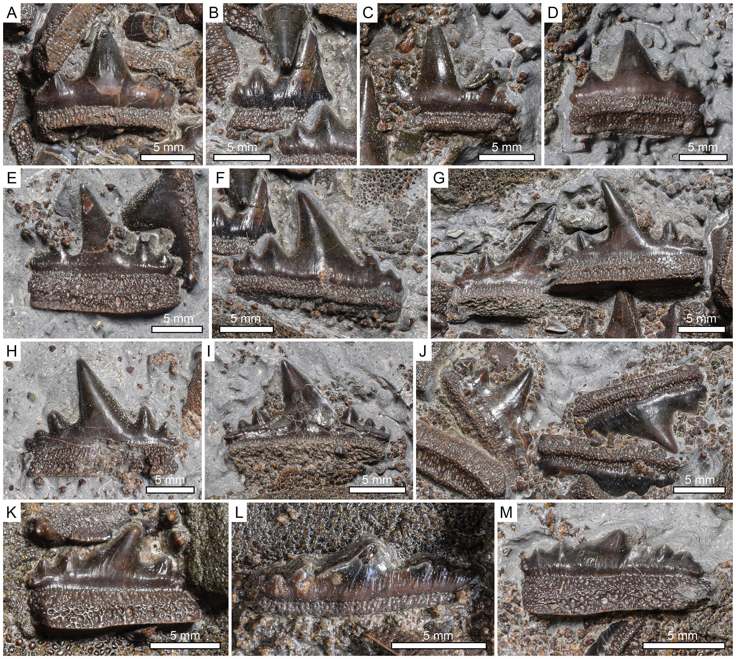 英格兰发现1.5亿年前侏罗纪时期鲨鱼新品种Durnonovariaodus Maiseyi