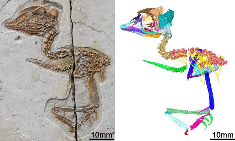 中国发现1.2亿年前小型灭绝鸟类的化石 与霸王龙头骨特征几乎相同