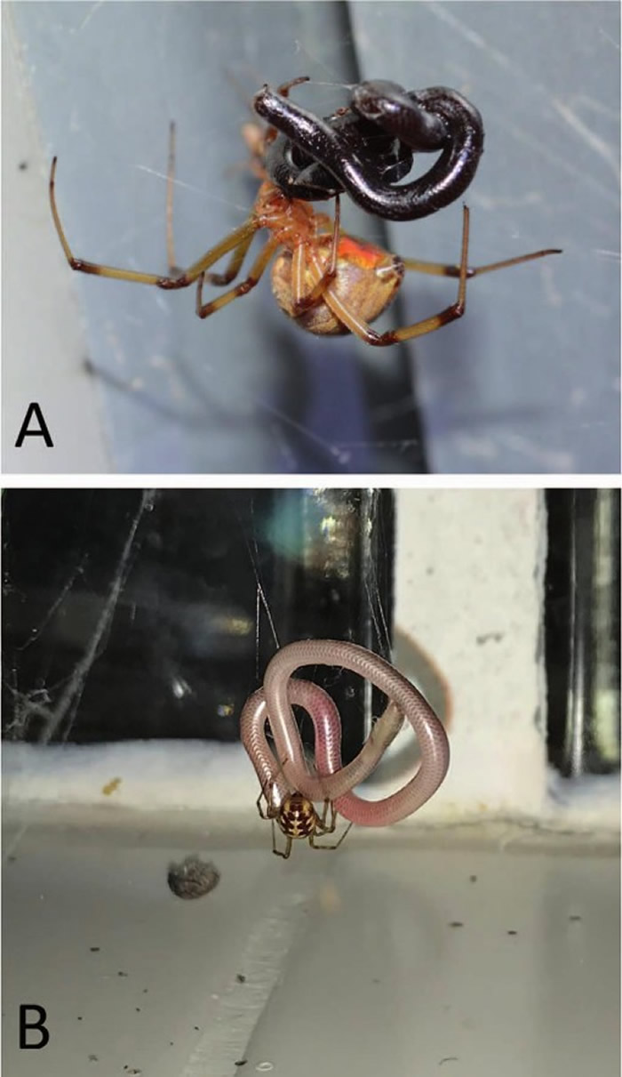 除南极洲外均发现蜘蛛捕食蛇的现象 大多发生在美国和澳大利亚
