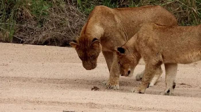 南非马拉马拉野生动物保护区螃蟹举起蟹钳吓退5头狮子