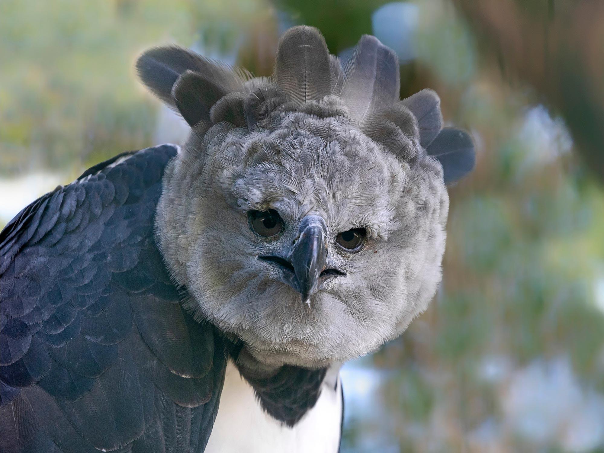 世界上最大的鹰种之一--美洲角雕在亚马逊森林严重砍伐的地区艰难地哺育后代