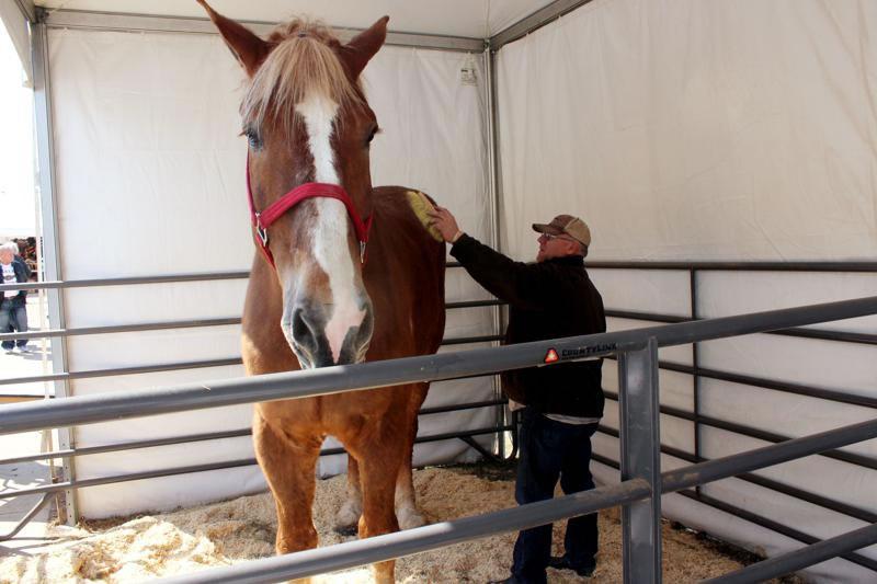 """美国威斯康辛州破吉尼斯世界纪录""""世界上最高的马""""Big Jake去世"""