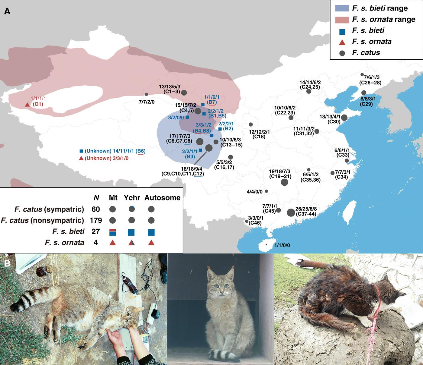 基因组研究表明中国山猫是野猫的一个亚种 它们与中国驯养家化的猫无关