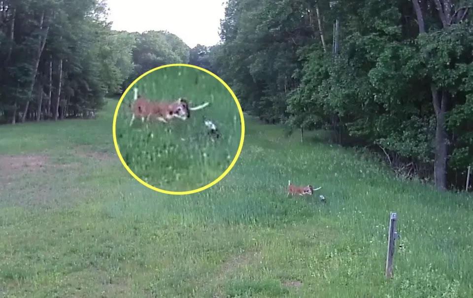 美国威斯康辛州一只兔子遭攻击 小鹿挺身而出踩死红尾鵟