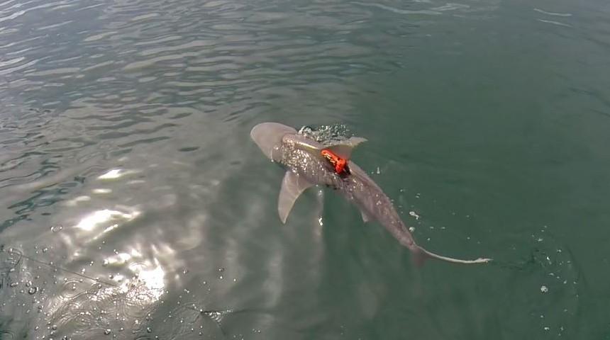 新研究表明鲨鱼实际上不惜一切代价来维持海洋的和平