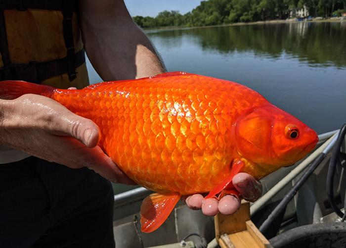 小金鱼放生变湖中巨无霸 美国明尼苏达州伯恩斯维尔市发现多条巨无霸金鱼