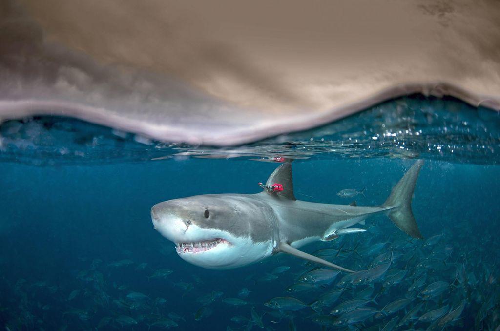为何白鲨等一些鱼类是温血的?可以游得更快