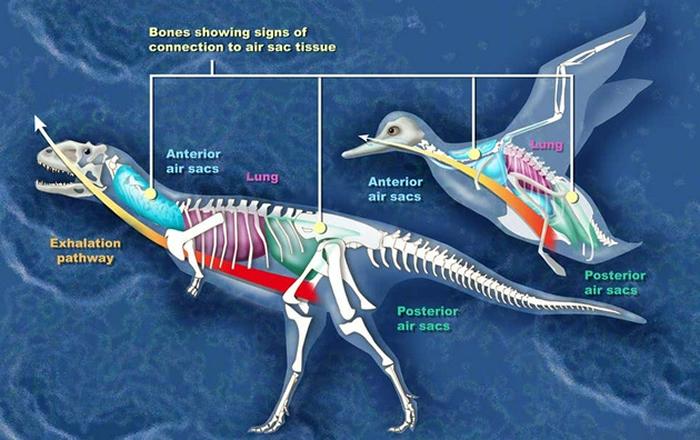 和鸭子一样,玛君龙的骨骼中也具有一些与气囊组织相关的结构特征