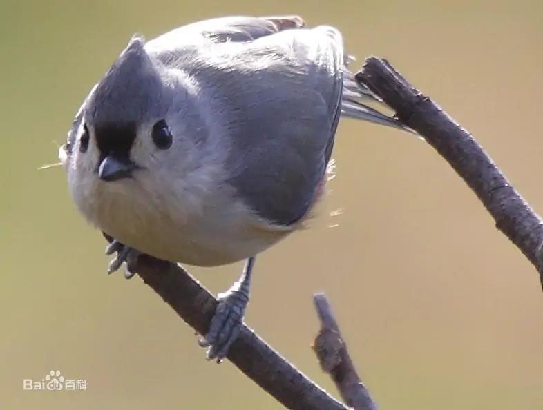 鸣禽簇山雀能用类似哺乳动物的神经机制来处理空间记忆