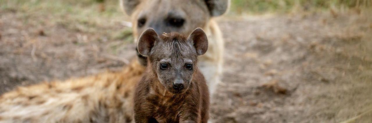 斑点鬣狗社群中继承自母亲并传递给后代的社会网络对鬣狗的生命与存活至关重要