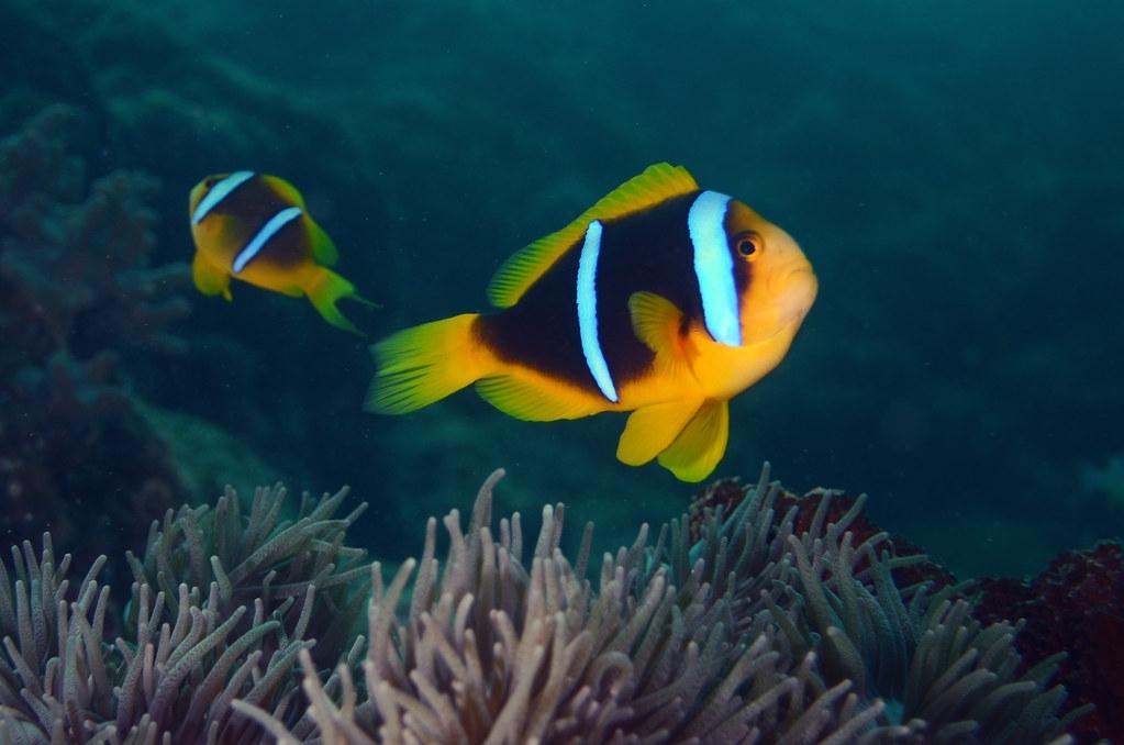 """长期暴露在人工光源下的小丑鱼""""橙鳍双锯鱼""""存活率比较低"""