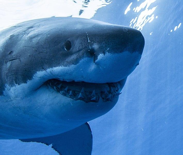 研究人员担心惊悚鲨鱼电影《大白鲨》对这种濒临灭绝动物的保护工作产生负面影响