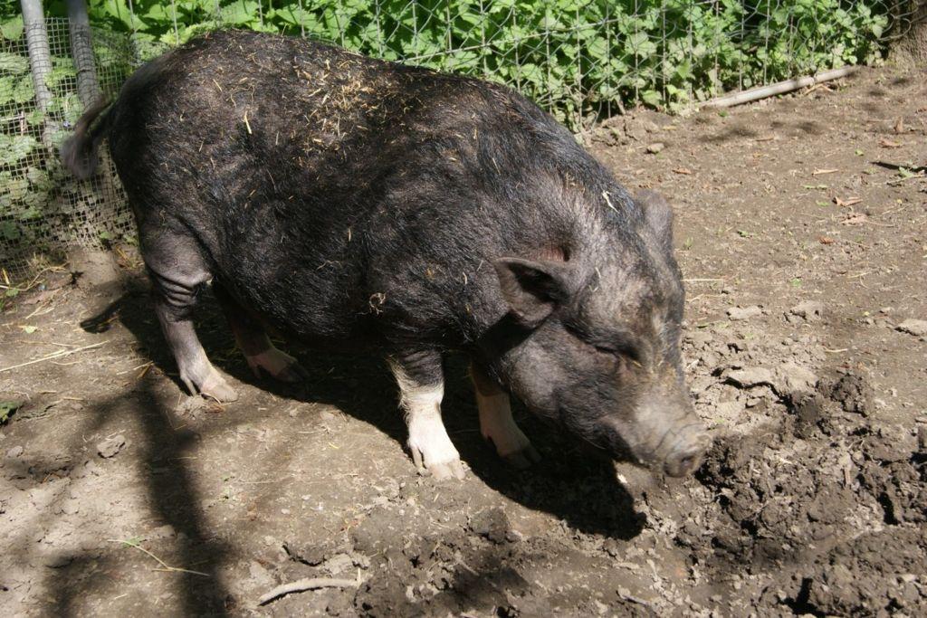 野猪翻土每年释放490万吨二氧化碳 相当于110万辆汽车的排放量