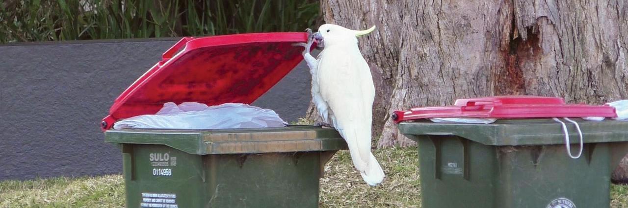 垃圾箱中的觅食动物:澳大利亚悉尼市郊鹦鹉复杂文化中的创新与传播