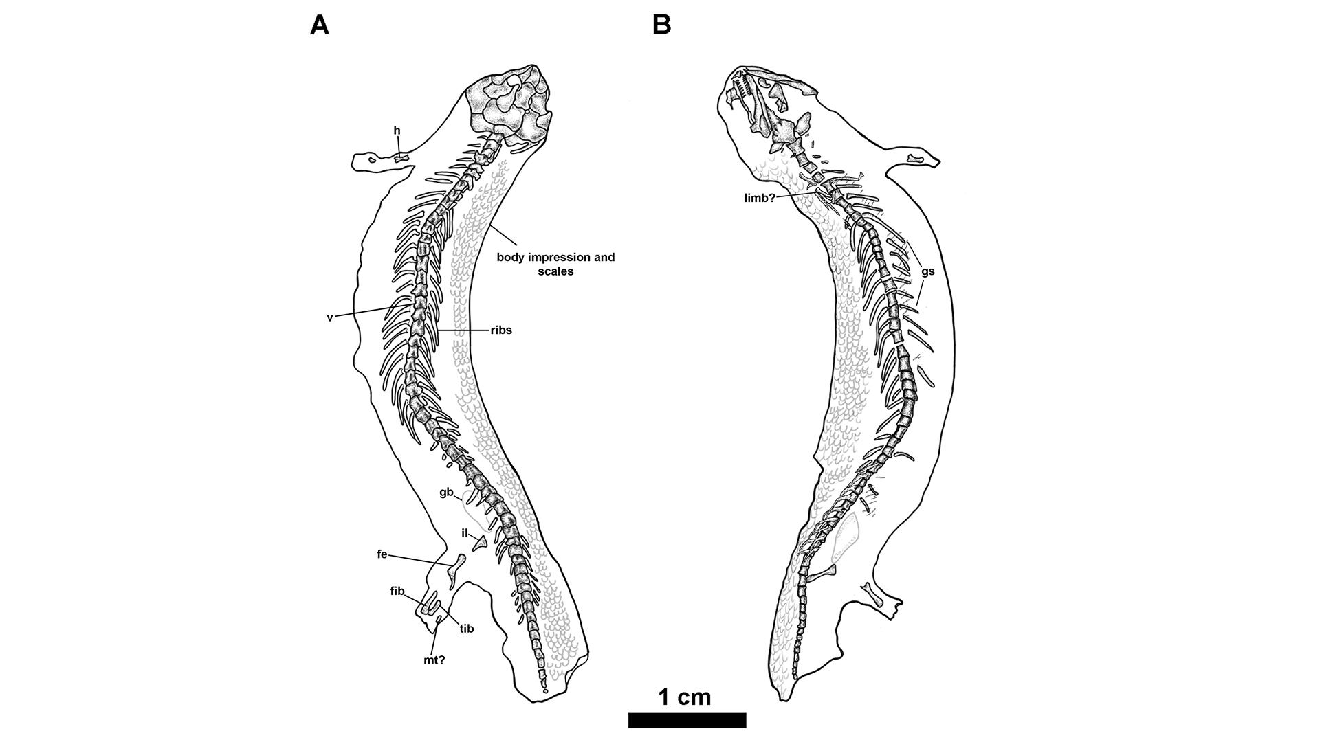 """美国伊利诺伊州发现""""微型恐龙"""":3.08亿年前新物种蜥蜴类化石Joermungandr bolti"""