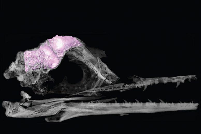 7000万年前的化石研究发现:独特的大脑结构可能