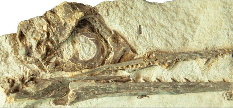 7000万年前的化石研究发现:独特的大脑结构可能是鸟类祖先在大灭绝中幸存下来的原因